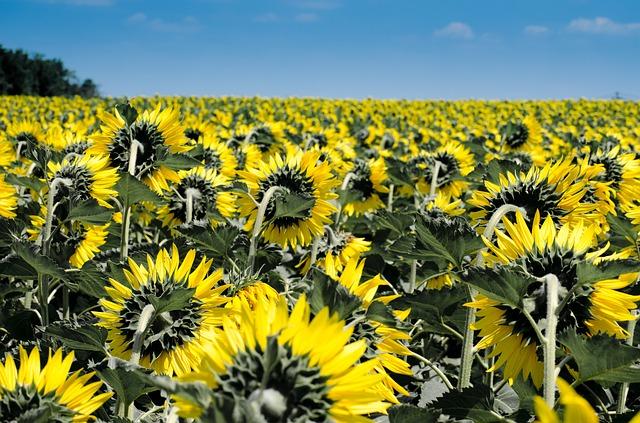 Flora Sunflower Yellow Napimádó Summer