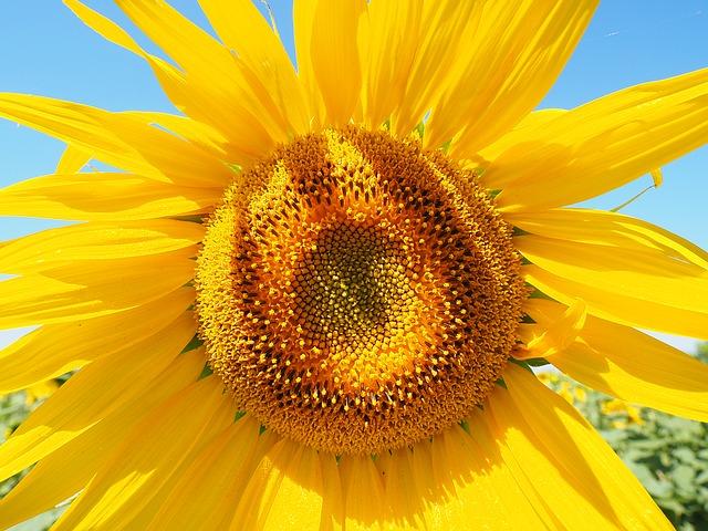Inflorescence Flower Basket Sun Flower Tongue Flower