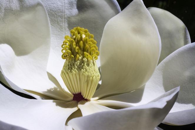 magnolia-1077384_960_720