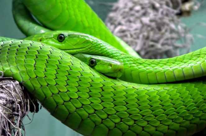 snake-mamba-green-mamba-toxic-38268.jpeg