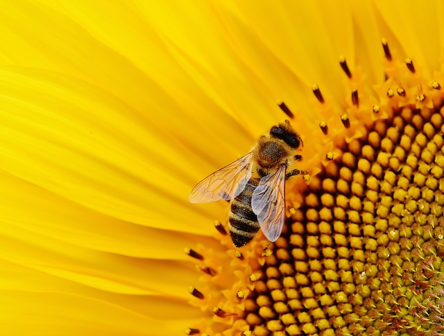 Sun Flower Bees Garden Blossom Summer Bloom
