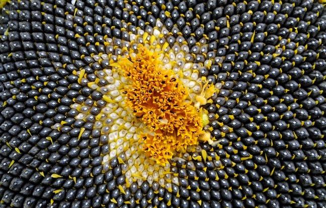 Sun Flower Close Sunflower Seeds Seeds