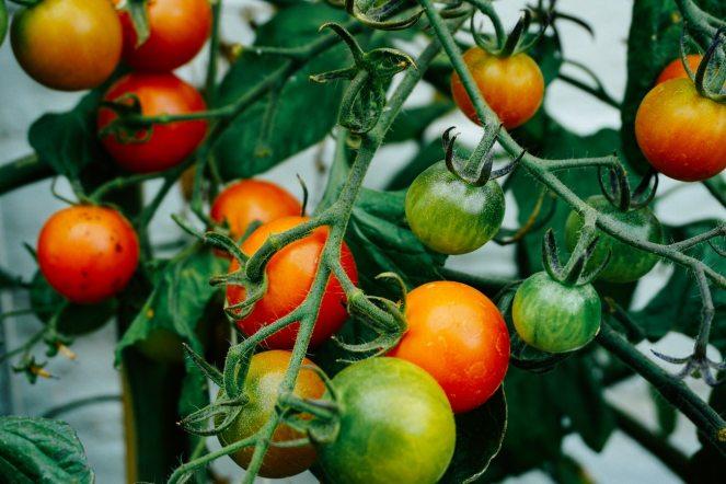 tomatosonvine
