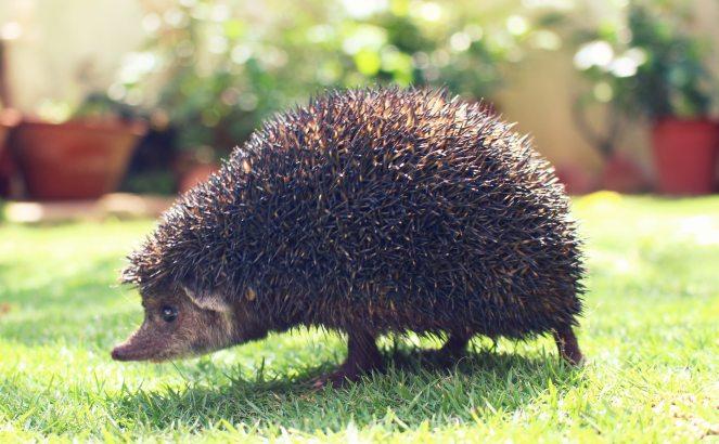 animal-garden-hedgehog-12526.jpg