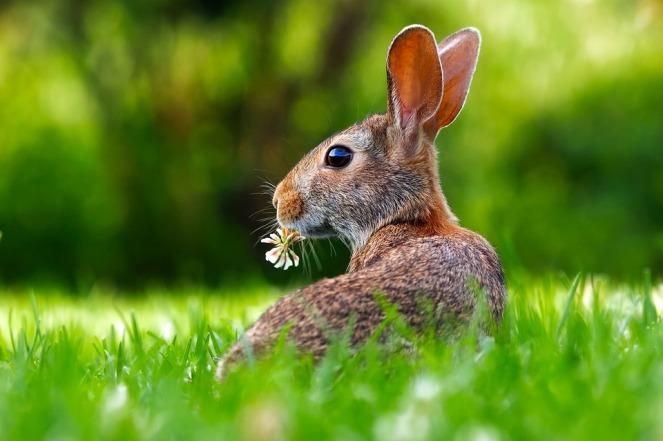 rabbit lawn