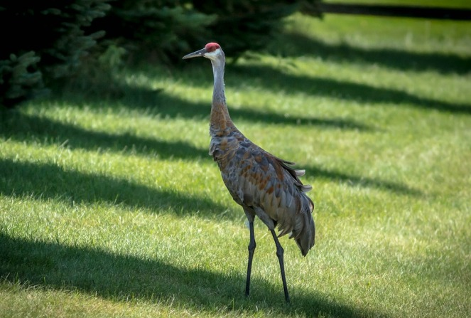Pterodactyl Sand Hill Crane Crane Noisy Bird Avian