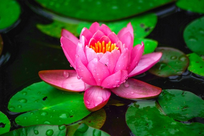 water-lilies-3497884_960_720