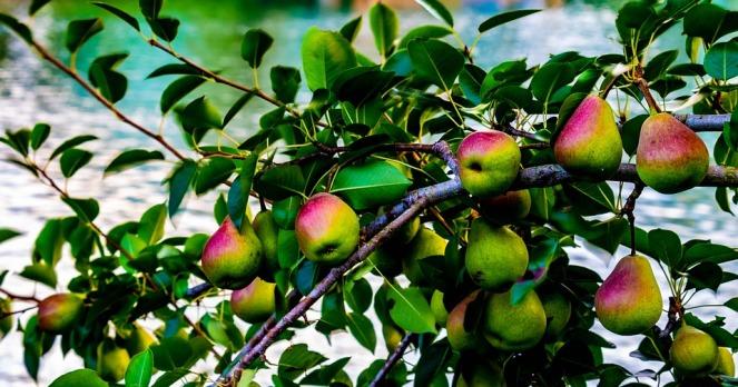 pears-3565230_960_720