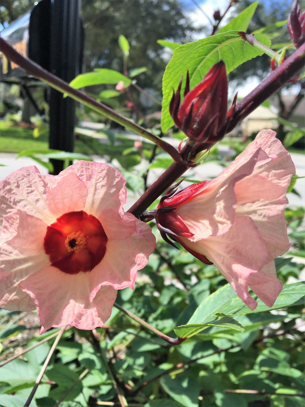 Edible cranberry hibiscus shrub plants and beyond edible cranberry hibiscus shrub izmirmasajfo