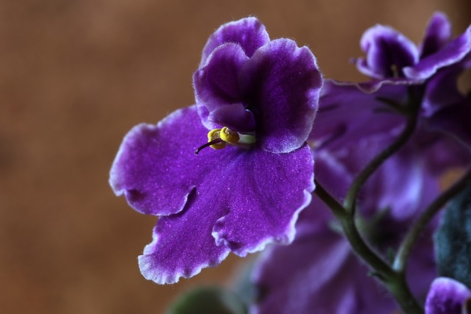 african-violets-1819021_960_720