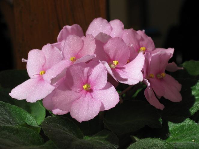 african-violets-2950058_960_720