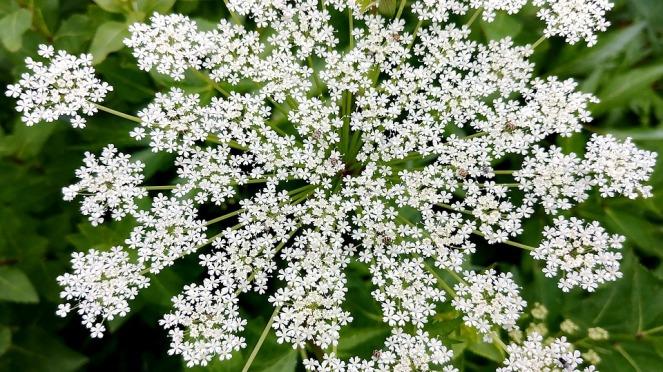 angelica flower fibonacci