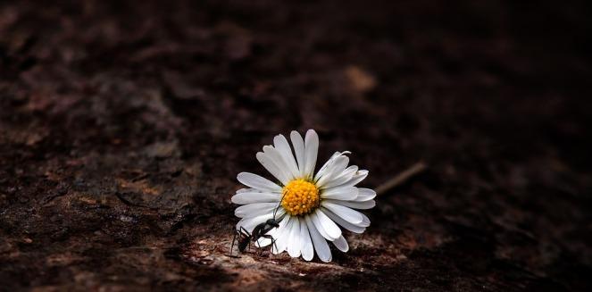 daisy-3505783_960_720