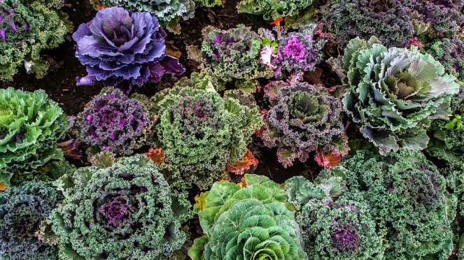 varieties-of-kale-1167557_960_720