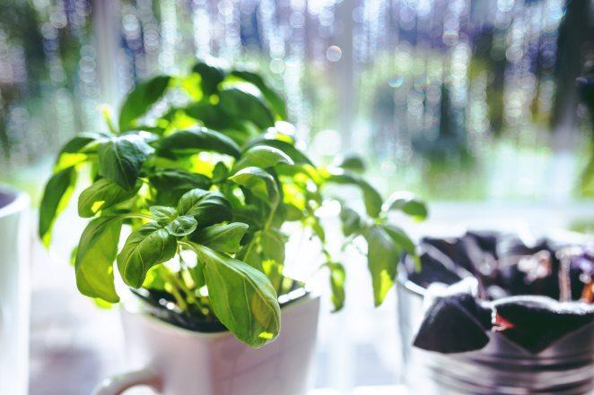 basil-herbs-5818.jpg
