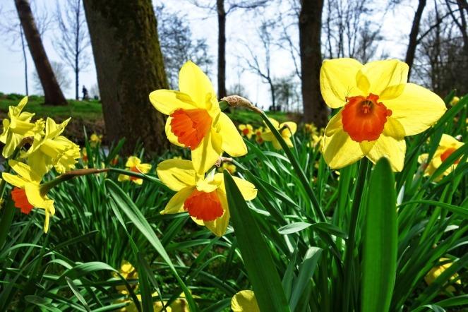 daffodil-3299311_960_720