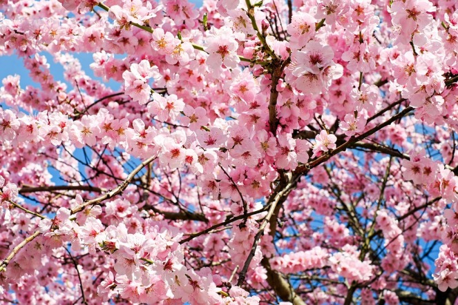 japanese-cherry-trees-3063992_960_720