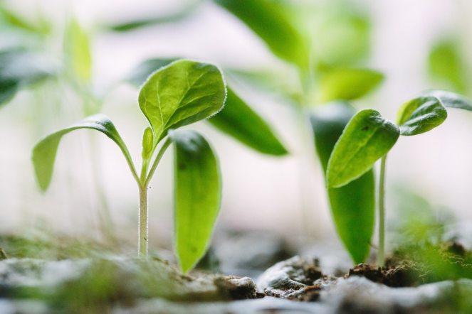 sprouts garden1