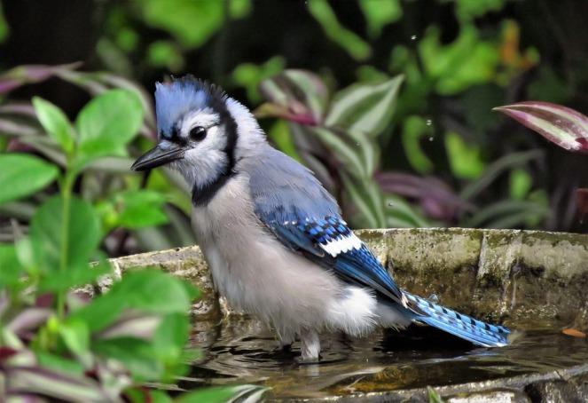 blue-jay-3734030_960_720