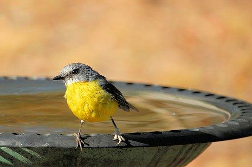 eastern-yellow-robin-4027248__340