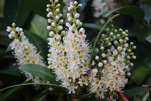 cherry-laurel-4161426__340