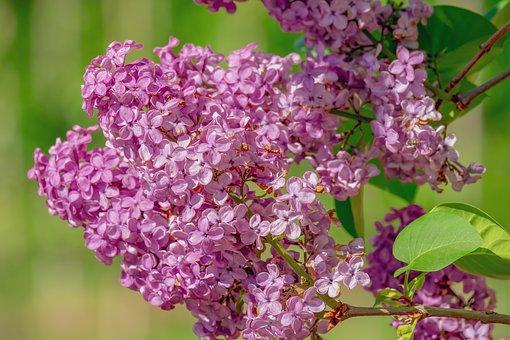 lilac-3988360__340