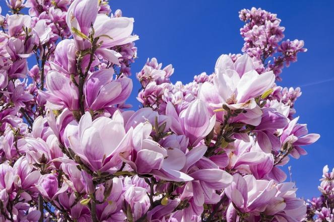 magnolia-2215760_960_720