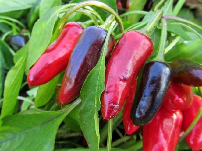 pepper-2871165_1920_full_width