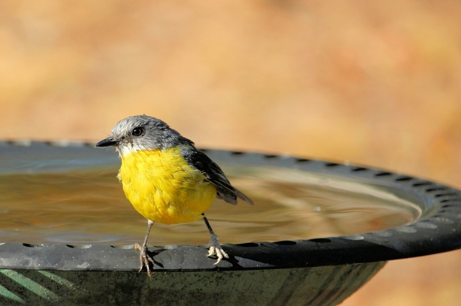 eastern-yellow-robin-4027248_960_720